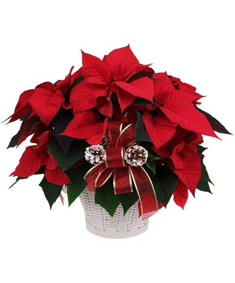 Stella Di Natale Pianta.Stella Di Natale Poinsettia Rossa